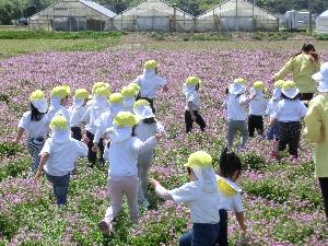 れんげ畑の写真1